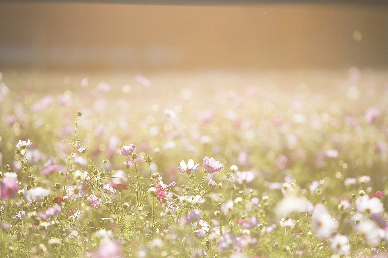 cosmos flowers, flowers, meadow