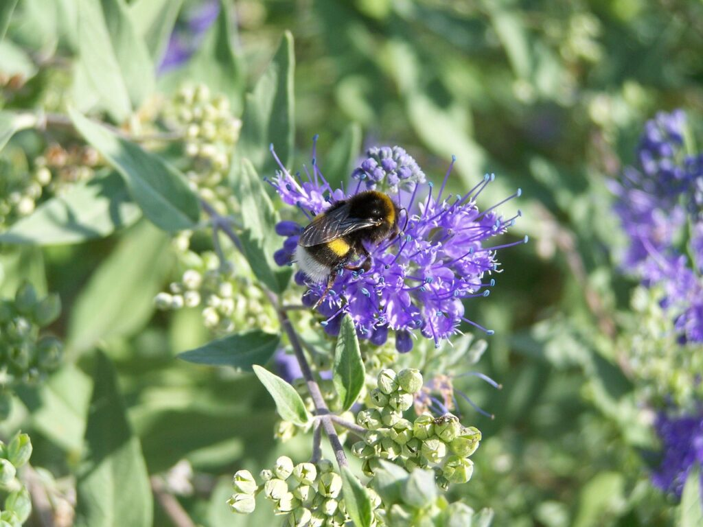 bumble bee, insect, bluebeard flower